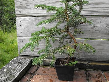 moyogi spruce bonsai