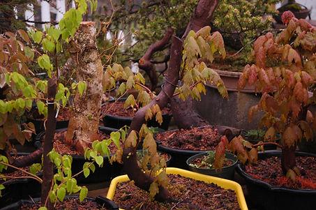 maine maple bonsai