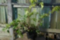 maine water jasmine bonsai