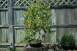 maine birch bonsai