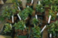 maine brush cherry bonsai