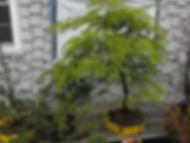 maine hemlock bonsai