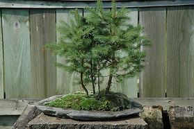 maine forest bonsai