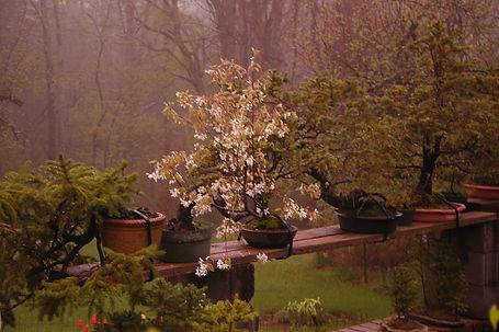 maine shadbush bonsai