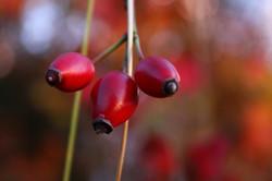Plodovi šipka