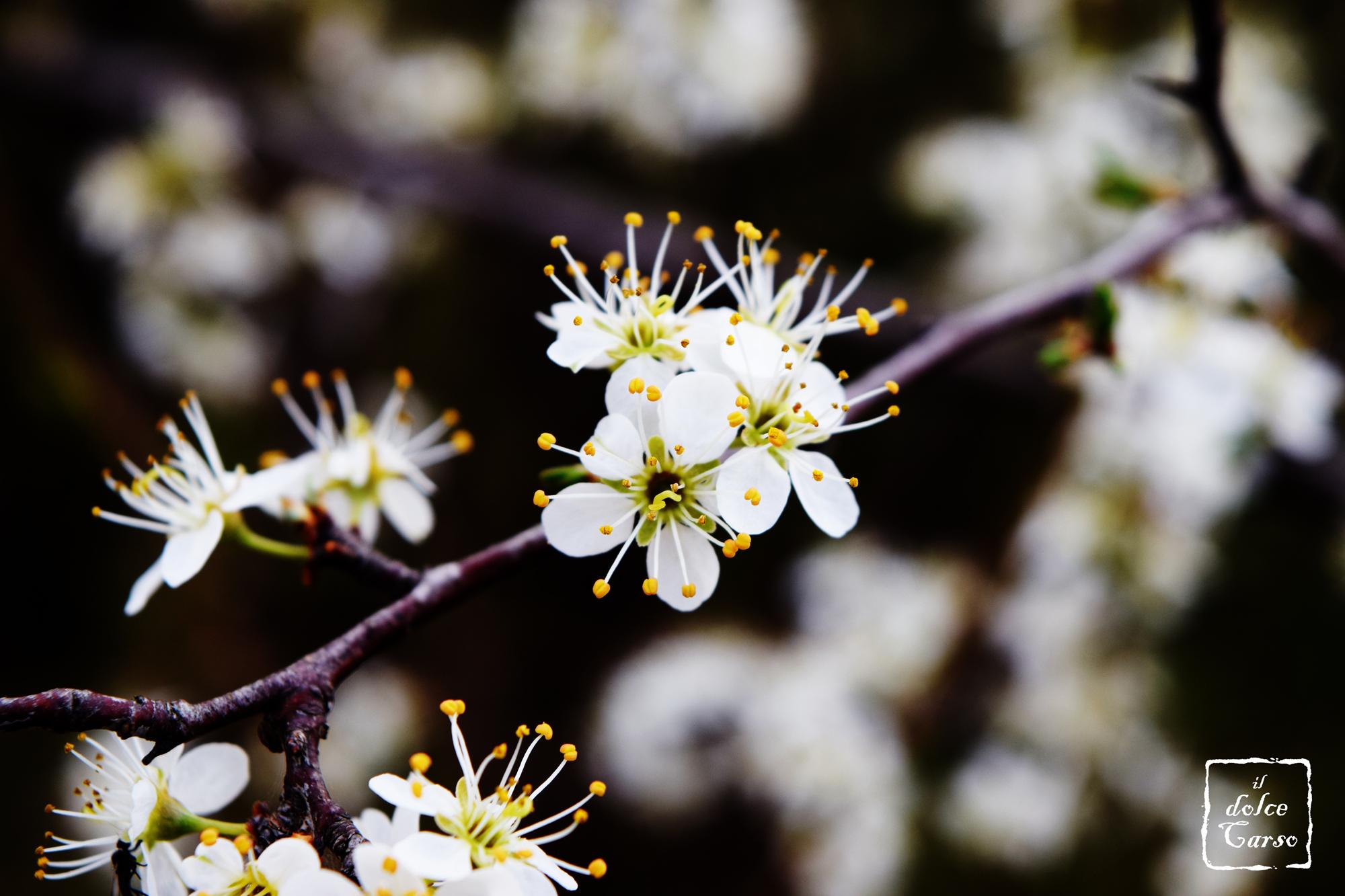 Ciliegio canino (Prunus mahaleb)