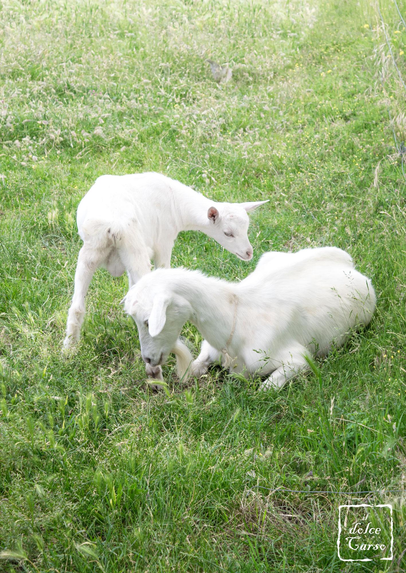 Famiglia caprina (carso isontino)
