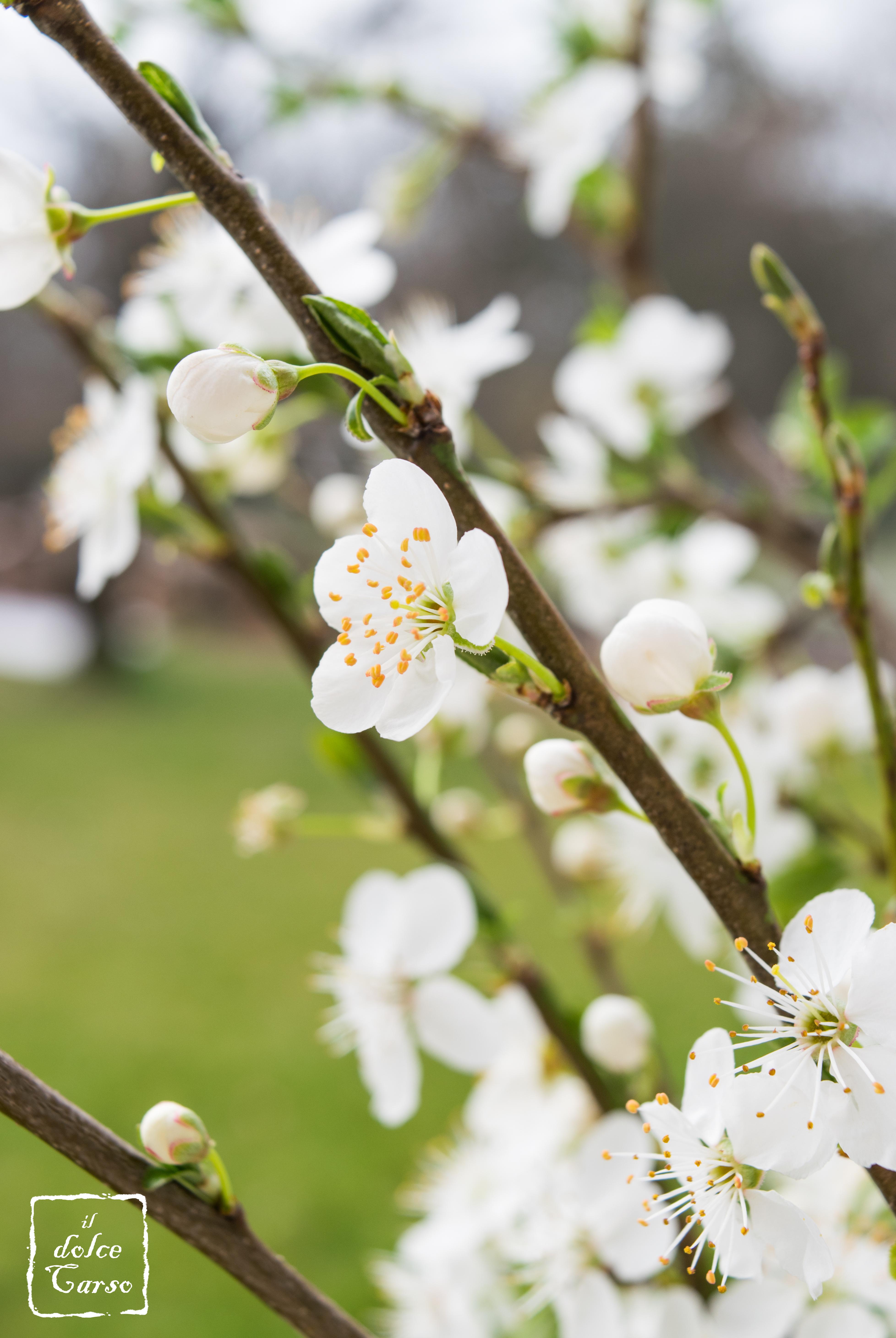 Rešeljika (Prunus Mahaleb)