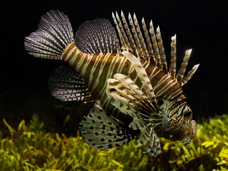 Vero Beach Events: Sebastian Lionfish Fest