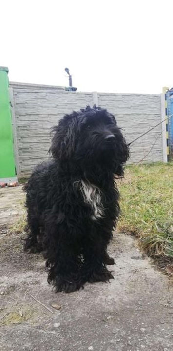 Ambra, Tibet Terrier.jpg