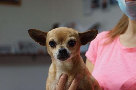 Shania, Chihuahua