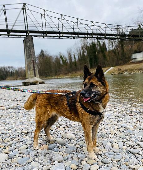 Rex, Schäferhund Mischling.jpg