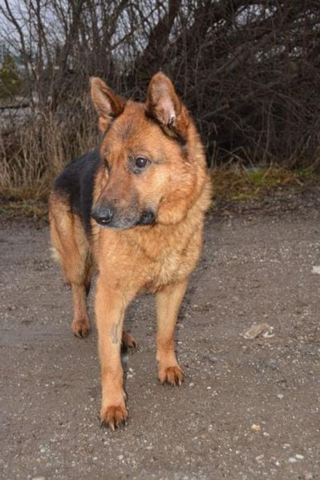 Schäferhund.jpg