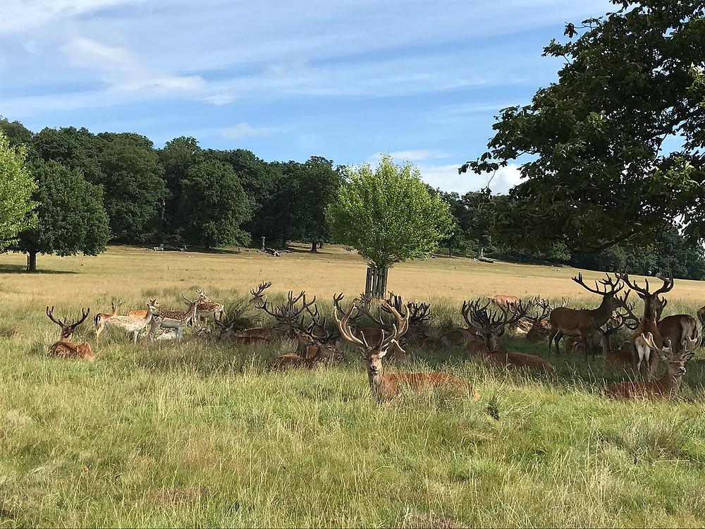 Олени в Ричмонд парке