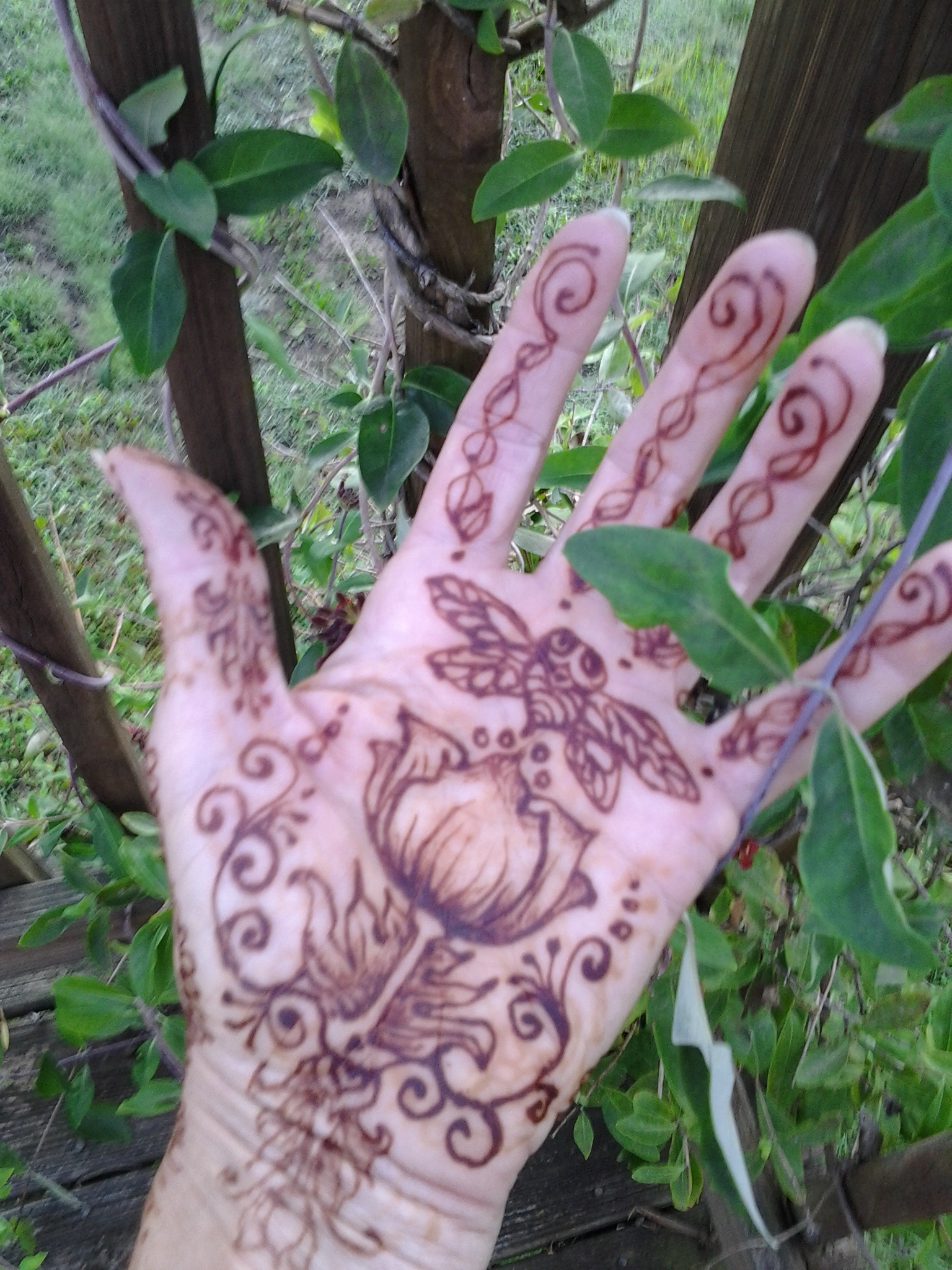 henna locust, Louisville KY