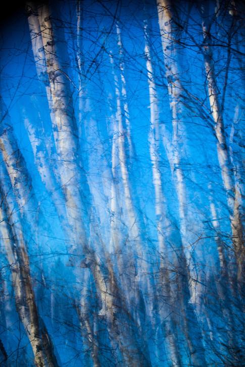 Surreal Birch Trees