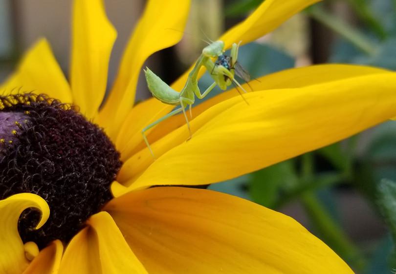Black-Eyed Mantis