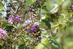 Painted Lady Butterfly Learning Fields a
