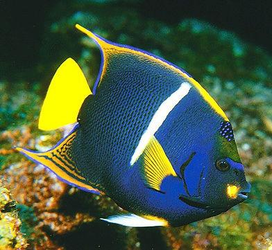 King angelfish