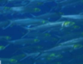 Pacific ladyfish