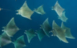 Mobula rays/Lesser Devil rays
