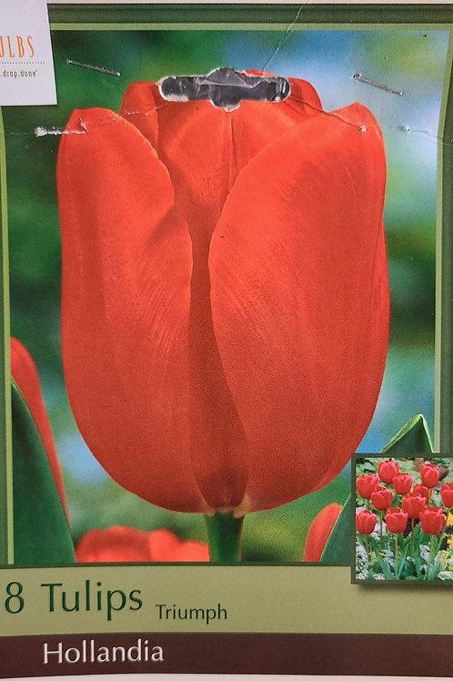 Tulip - Hollandia