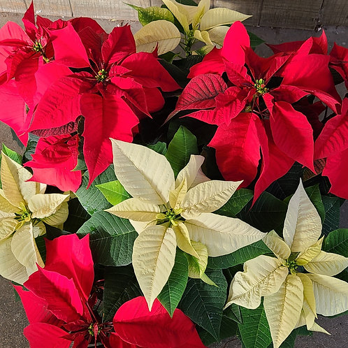 Centerpiece or Hanging Poinsettia