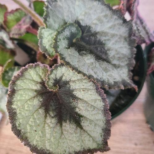 Begonia -Rex