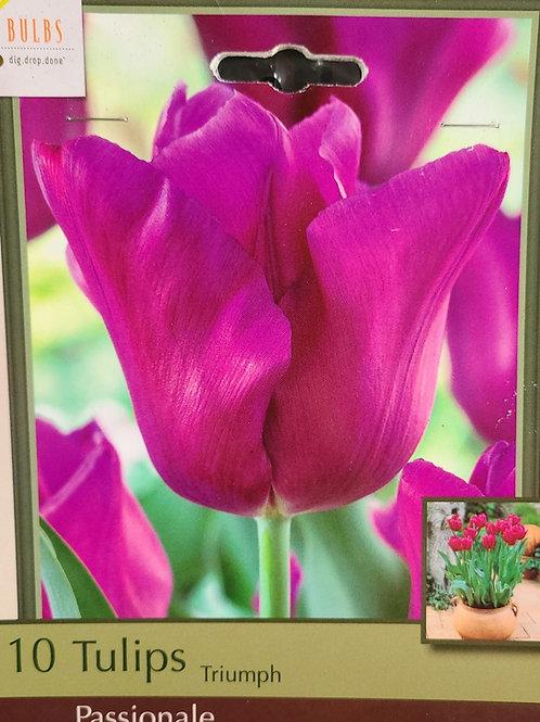 Tulip - Passionale