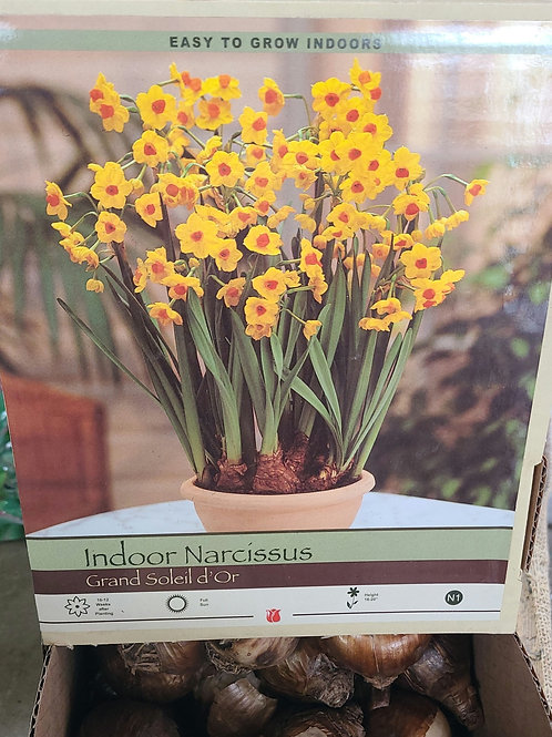 Indoor Narcissus Bulbs