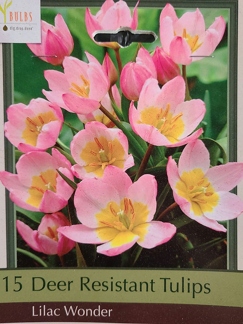 Deer Resistant Tulip - Lilac Wonder