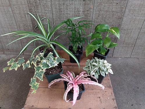 Medium Foliage Plant