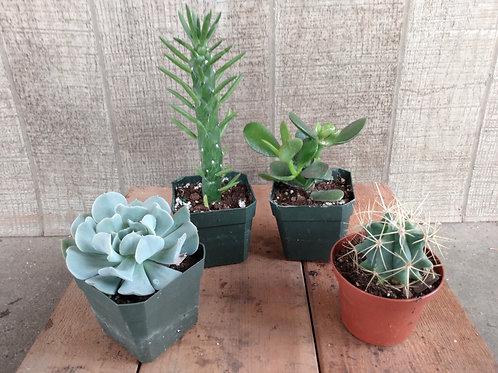 Medium Cactus or Succulent