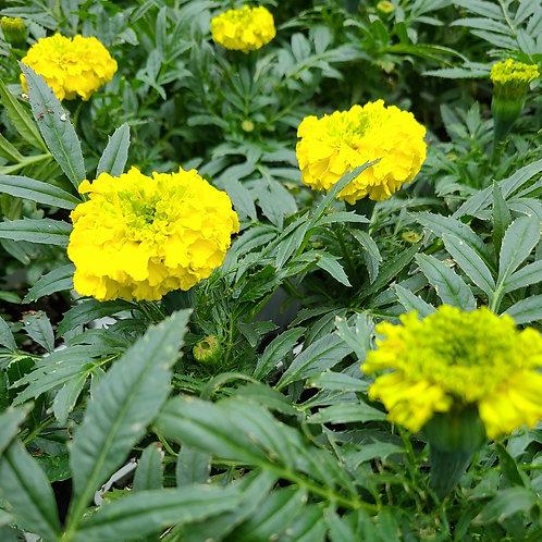 Marigold (large)