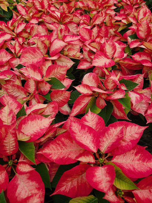 Ice Crystal Poinsettia