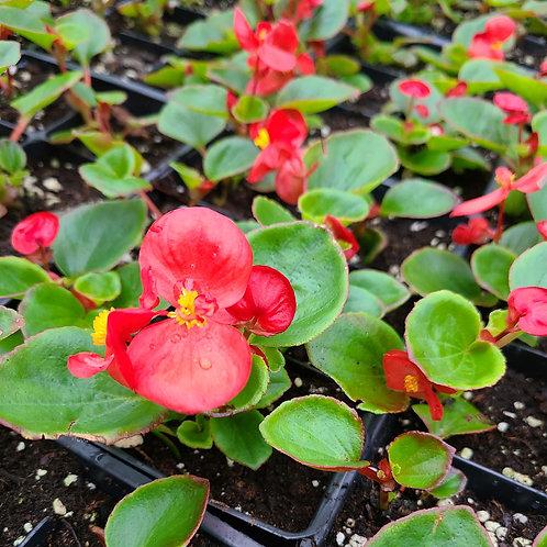 Begonias - Wax