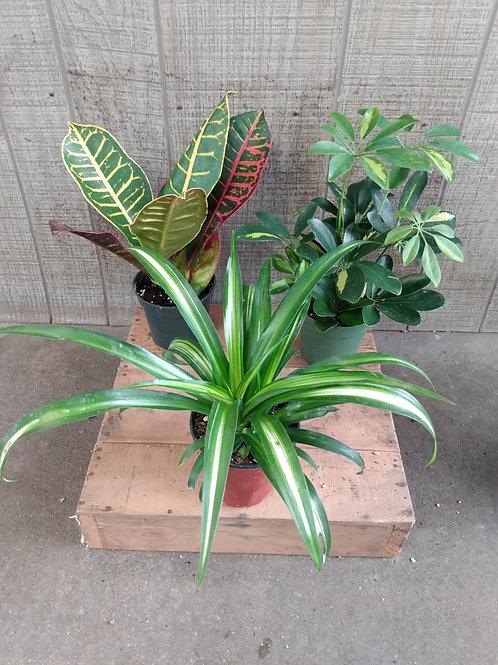 Large Foliage Plant