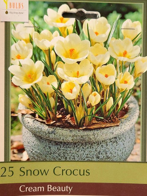 Snow Crocus - Cream Beauty