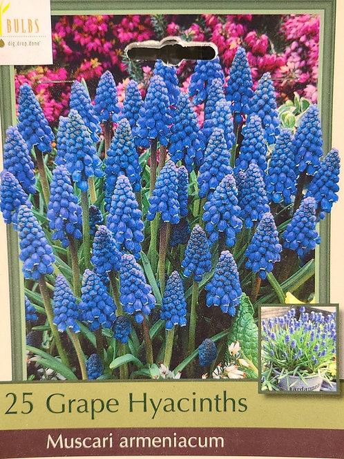 Grape Hyacinths - Blue Muscari