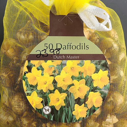 Daffodil - Dutch Master