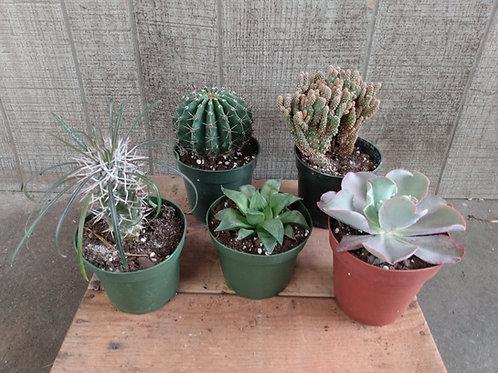 Large Cactus or Succulent