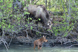 Cow and Moose Calf