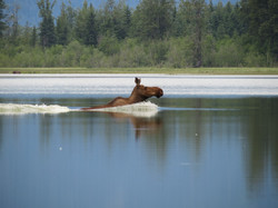 Cow Moose crossing the river