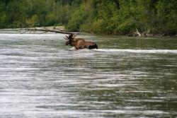 Bull Moose crossing the river