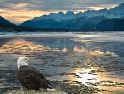 Bald Eagle along the river