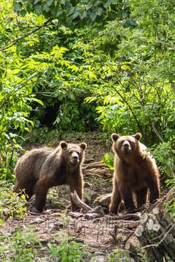 Twin Brown Bears
