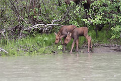 Twin calves along Chilkat River