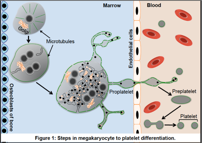 Platelet production: Developments and Challenges