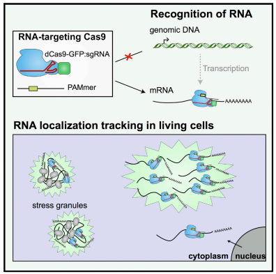 Programmable tracking of RNA molecules in live cells via CRISPR/Cas9