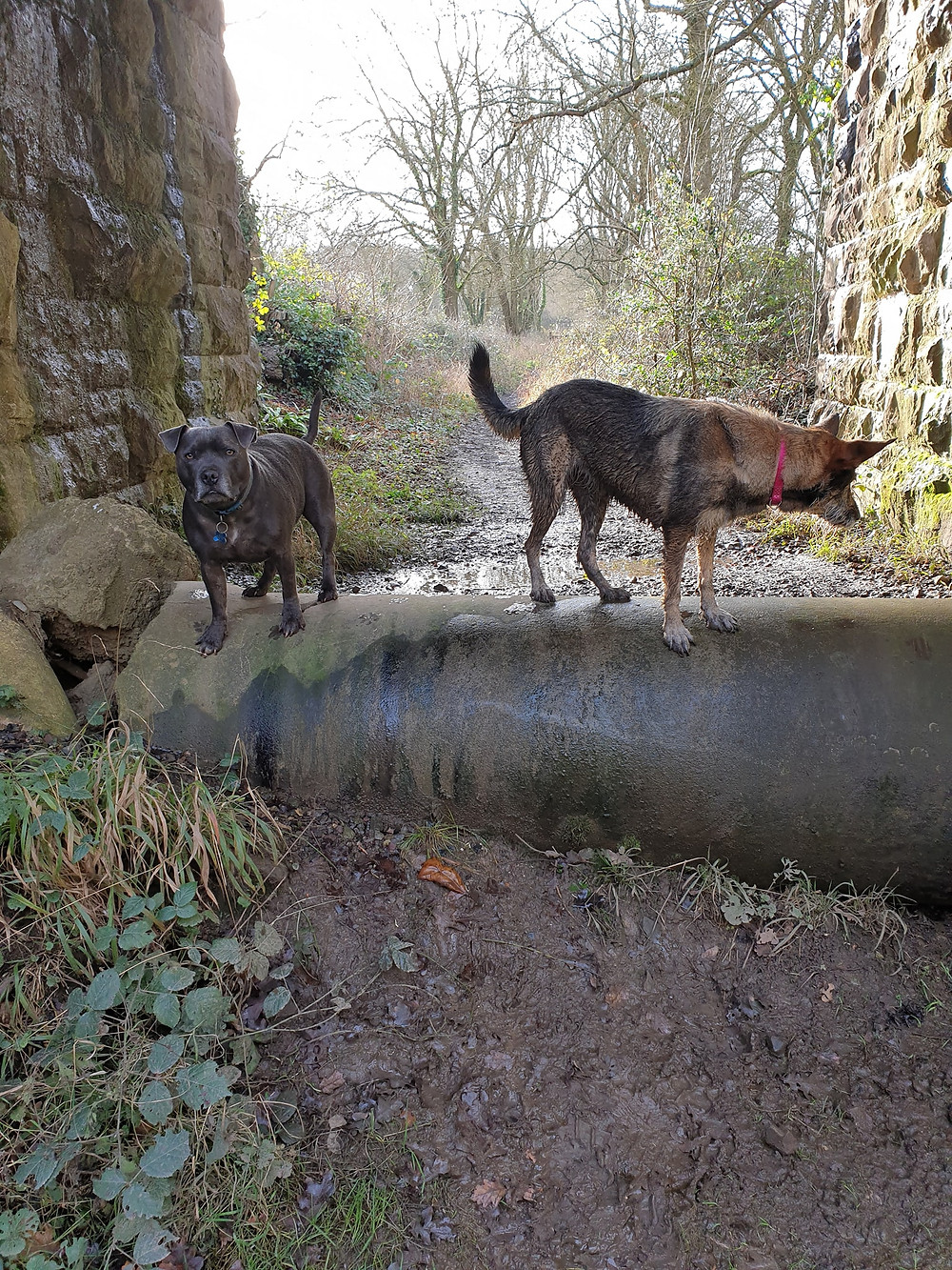 Staffs and Cross breed doing dog parkour on pipe with Time 4 A Walk
